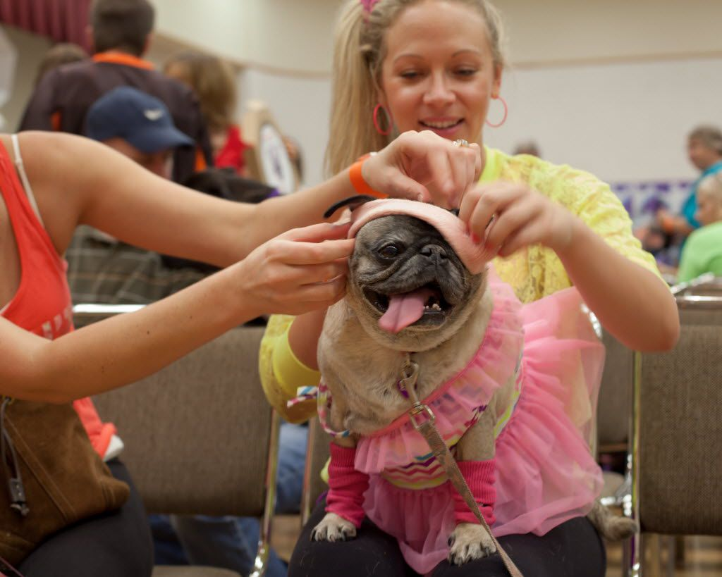 A pug dressed '80s-style showed off its costume at Pug-O-Ween in 2014.