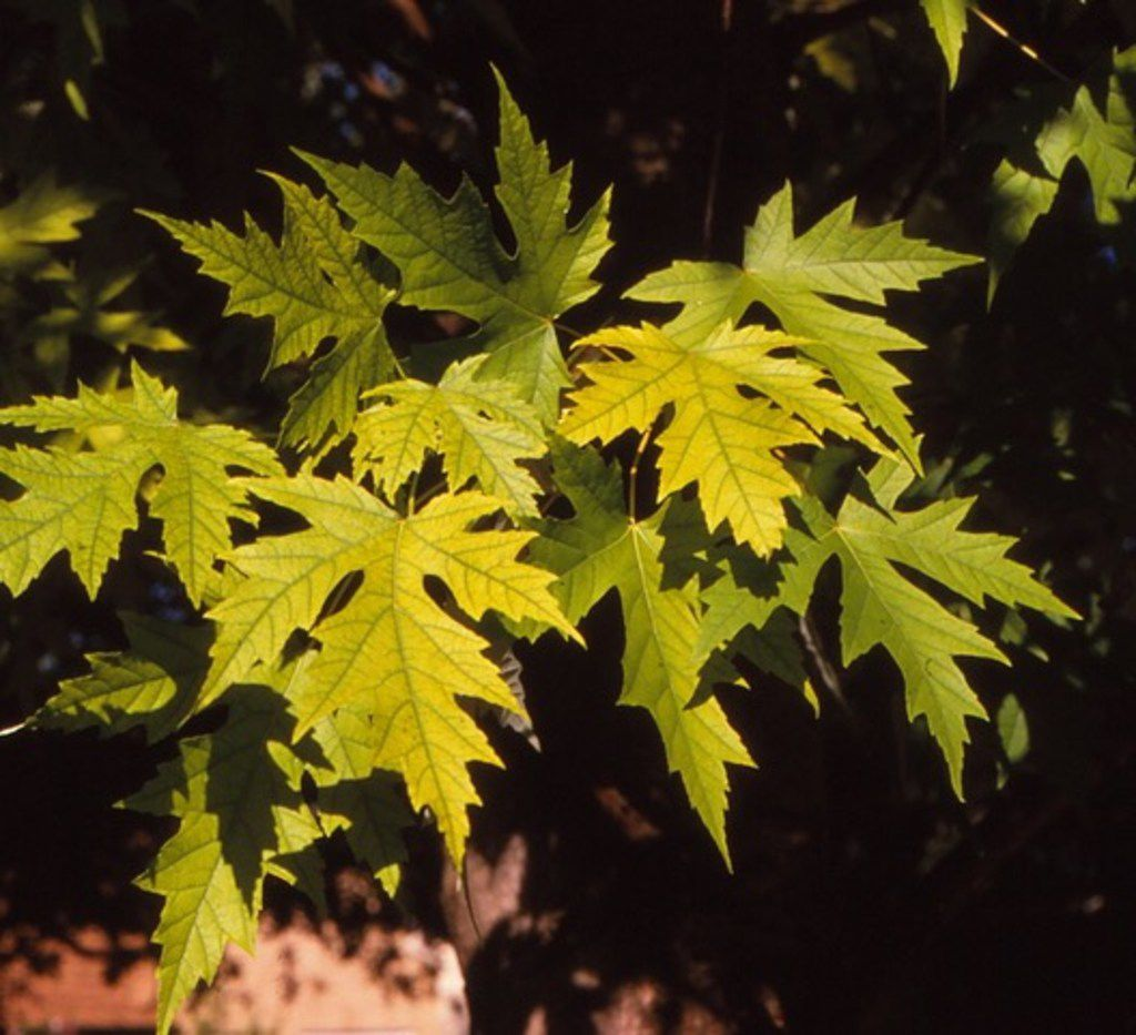 Silver maple tree (Acer saccharinum)