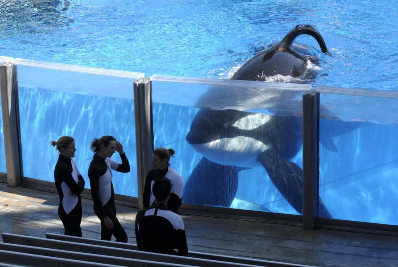Después de años de controversias con las orcas entrenadas, Sea World dejára de criar a estos cetáceos. (AP/ARCHIVO)
