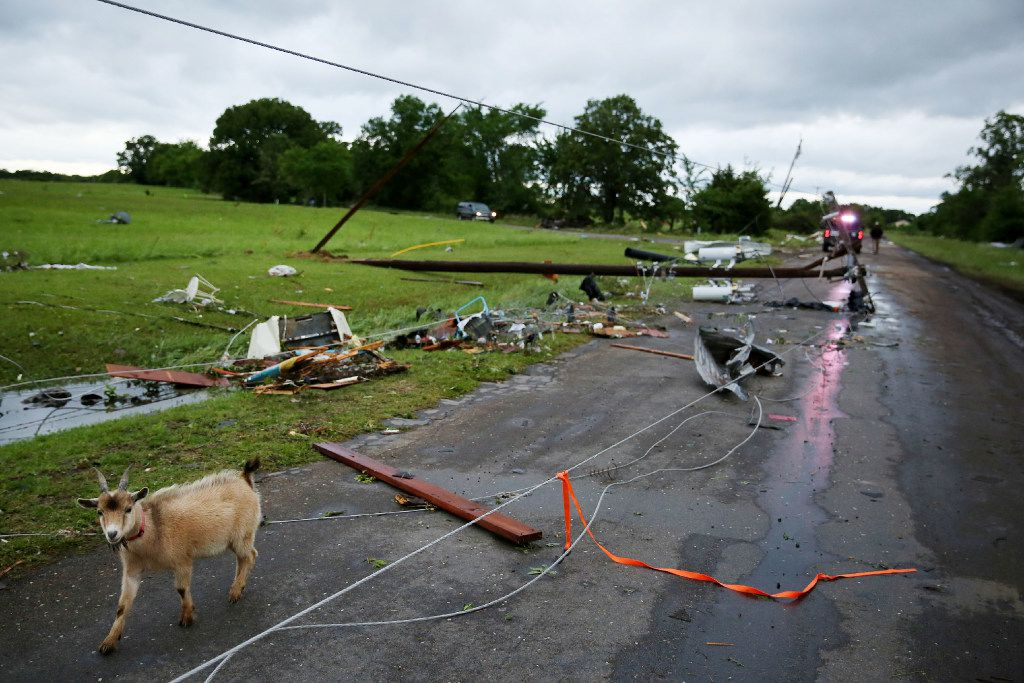 A goat walks along County Road 1910 on Sunday, a day after a tornado hit Fruitvale.