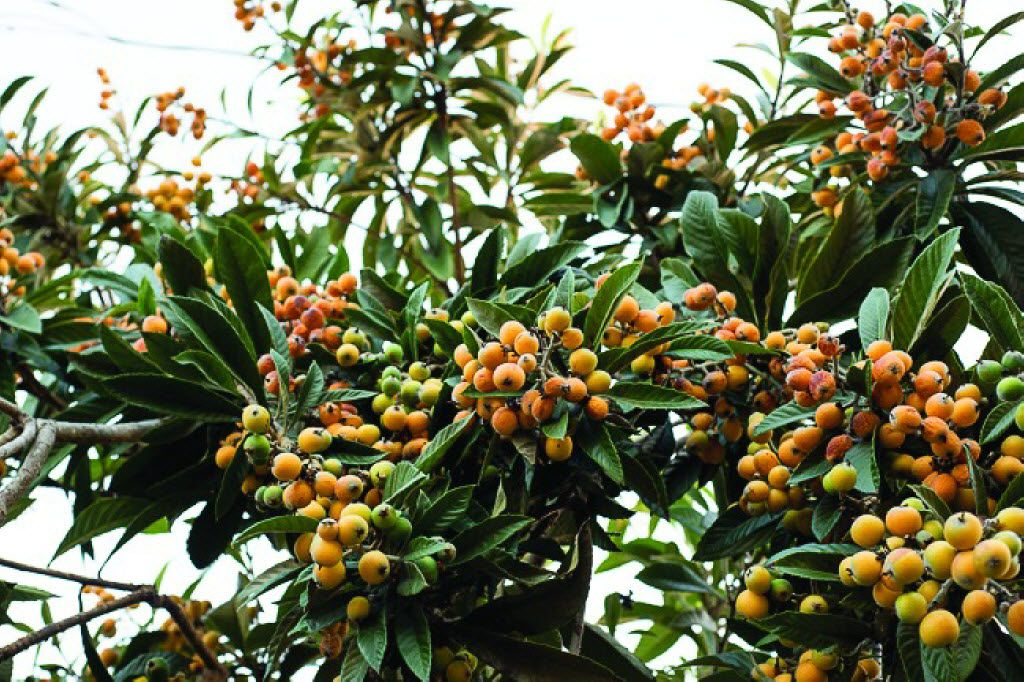 The loquat is an exotic fruit tree that's well adapted to North Texas.