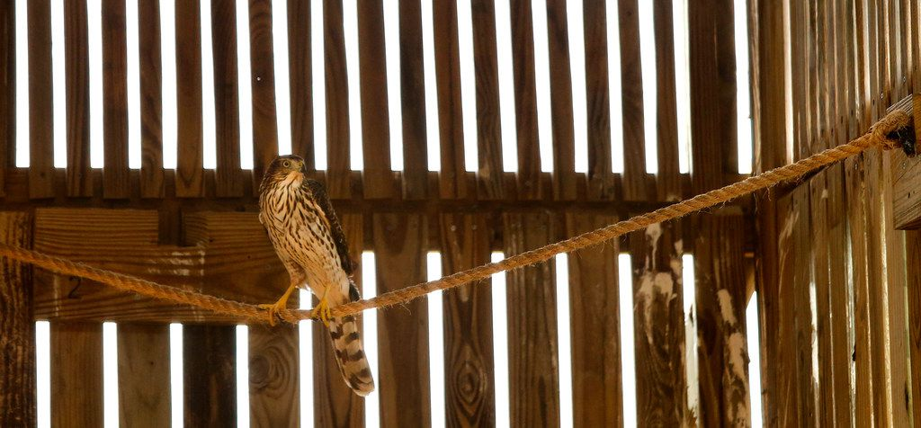 Harvey, the juvenile Cooper's hawk that darted into a Houston cab during Hurricane Harvey, waits to be released from her flight cage at the Blackland Prairie Raptor Center in Allen.