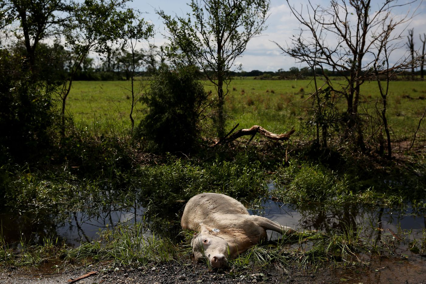 Dead livestock along County Road 1133 after a tornado impacted Fruitvale, Texas on Sunday April 30, 2017. Tornadoes whipped through Van Zandt, Henderson and Rains counties Saturday evening with reports of multiple deaths and dozens injured.