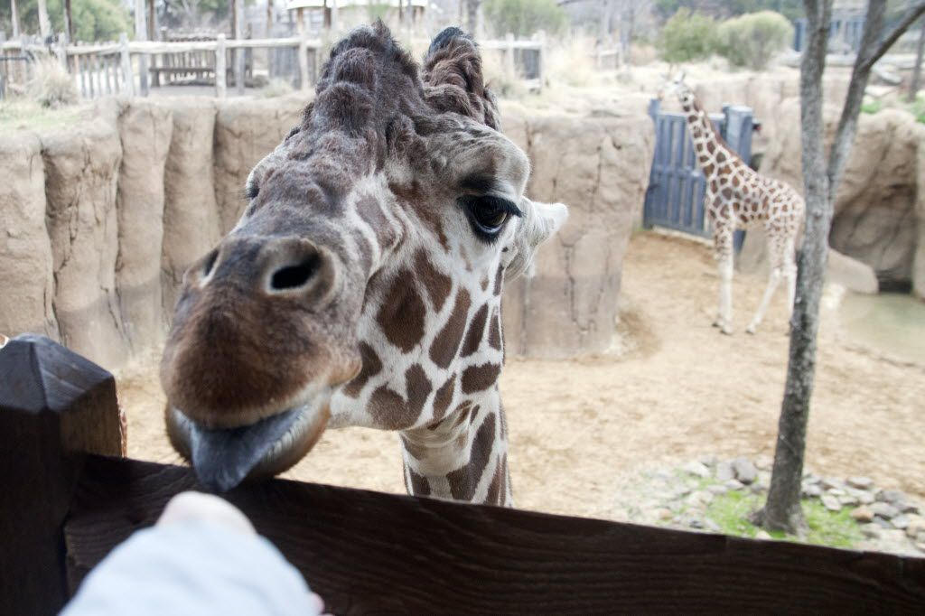 Visitors can get eye to eye with giraffes at the Dallas Zoo's Diane and Hal Brierley Giraffe Ridge.
