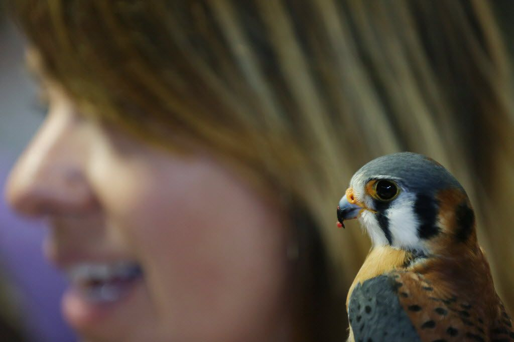 Lindsey McNeny, of the bird education program Window to the Wild, holds an American kestrel while showing guests their collection of species during Earth Day Texas and Fair Park in Dallas Saturday April 23, 2016. The event had 771 environmental nonprofit groups, government agencies, business and academic institutions. The three-day event includes speakers, student field trips, and the E Day conference. (Andy Jacobsohn/The Dallas Morning News)