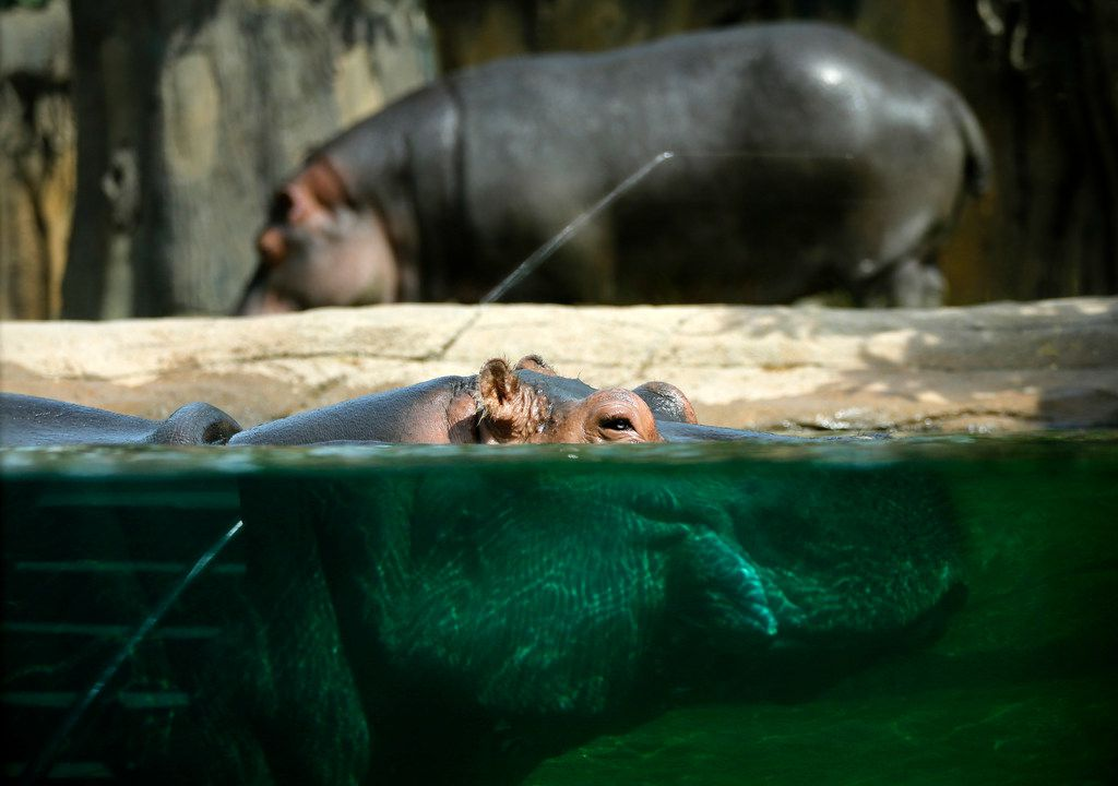 Hippopotamuses get used to their new tank and surroundings.
