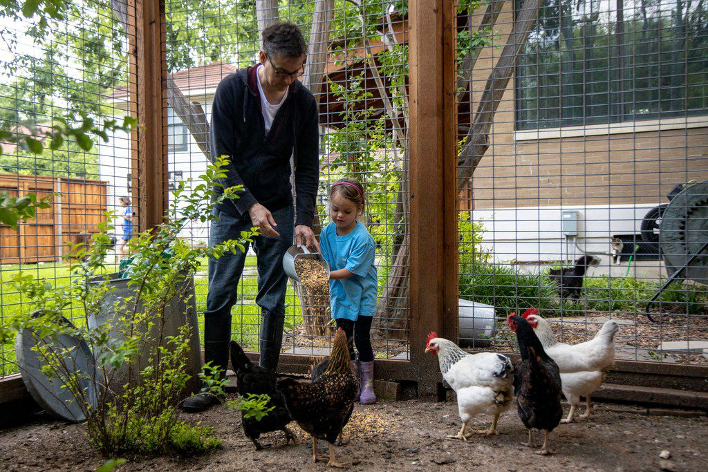 Dallas City Council member Scott Griggs feeds chicken with his daughter, Catalina Griggs, at their North Oak Cliff home on Friday, May 24, 2019.  (Shaban Athuman/Staff Photographer)