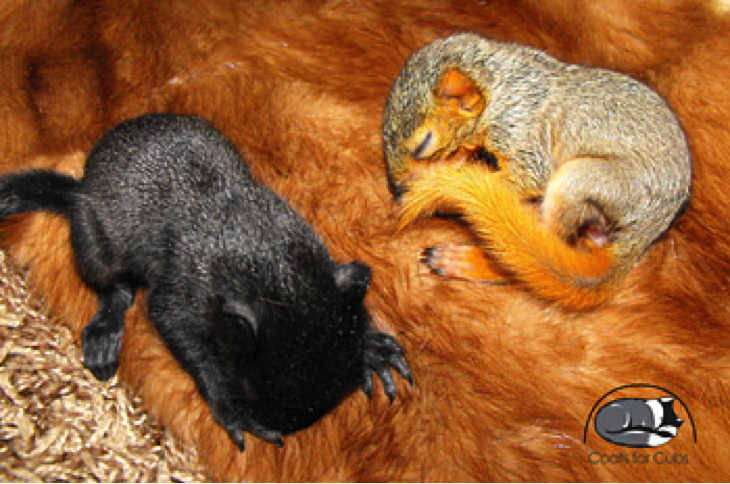 Baby squirrels sleeping on a donated fur
