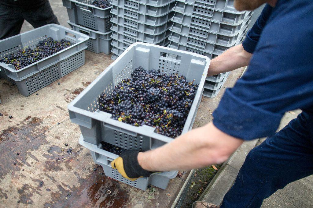 Trabajadores preparan para sopesar las uvas Pinot Meunier en Sussex, Reino Unido (SIMON DAWSON/BLOOMBERG)