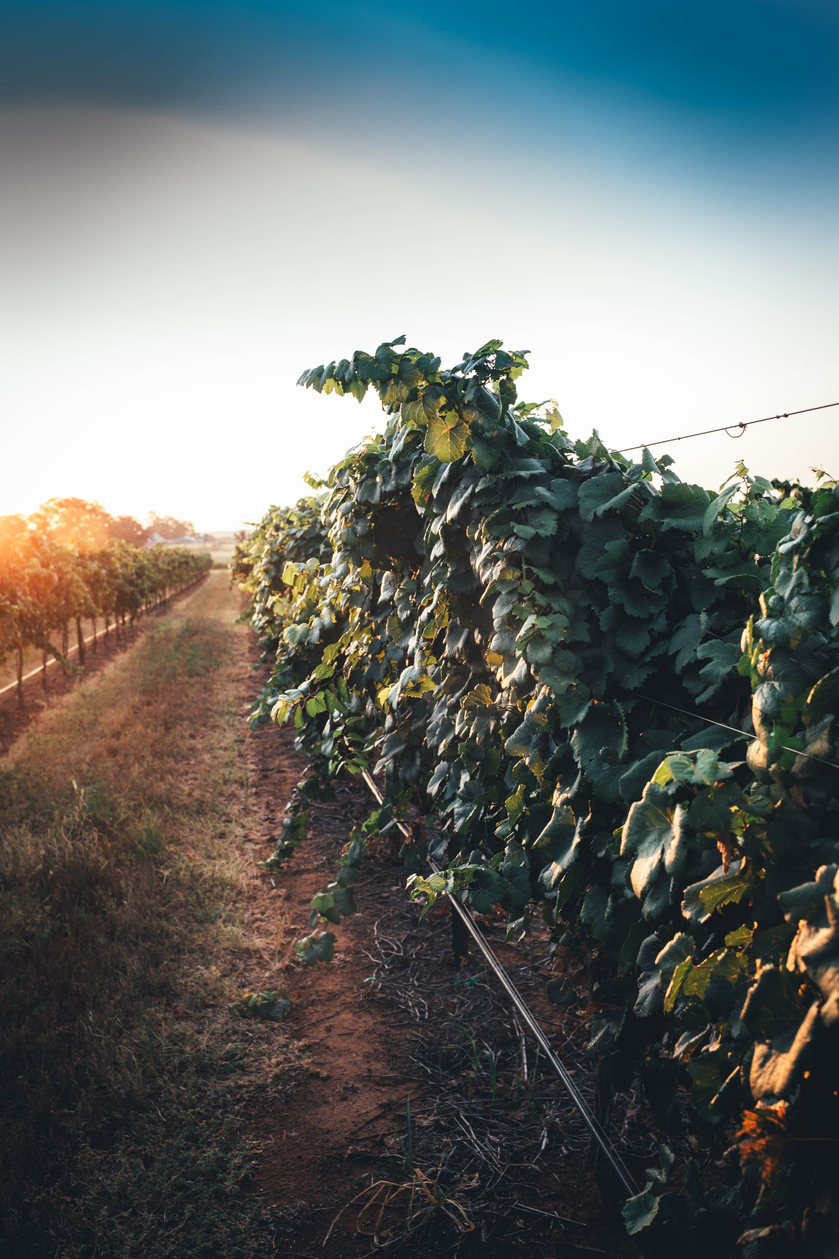 Tallent Vineyards is where Bending Branch Winery sources their grapes.