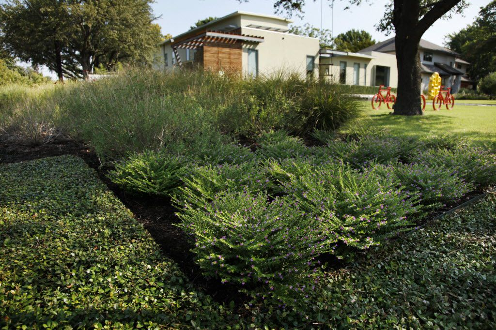 Ground cover of Asian jasmine around Mexican Heather and ornamental grasses in the front of a Dallas home.