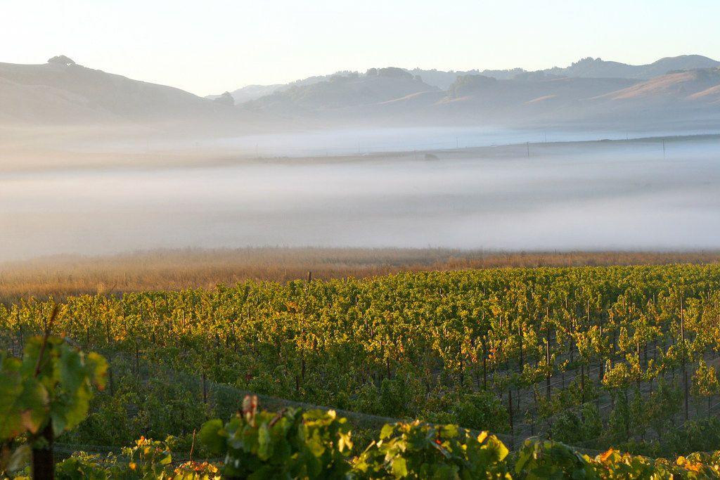Fog rolls through McEvoy Ranch's Azaya Vineyard in the Petaluma Gap in the far northern Marin County.