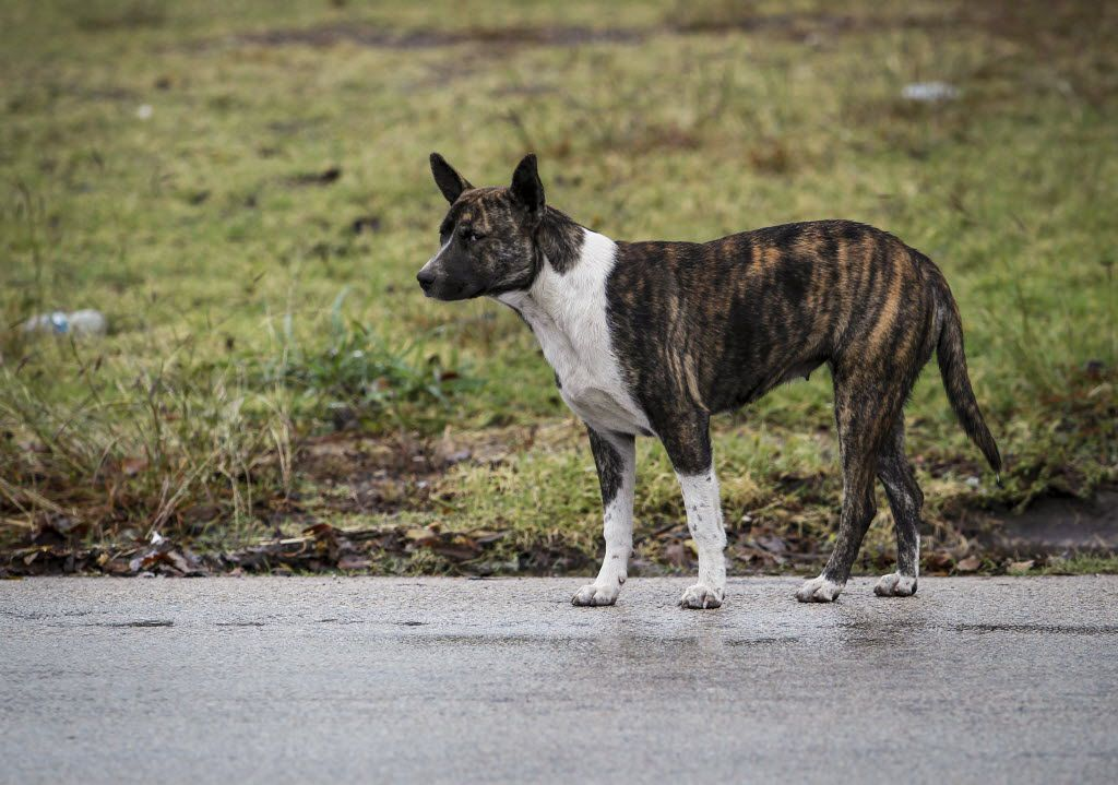 A stray dog stands along Pennsylvania Avenue in South Dallas.