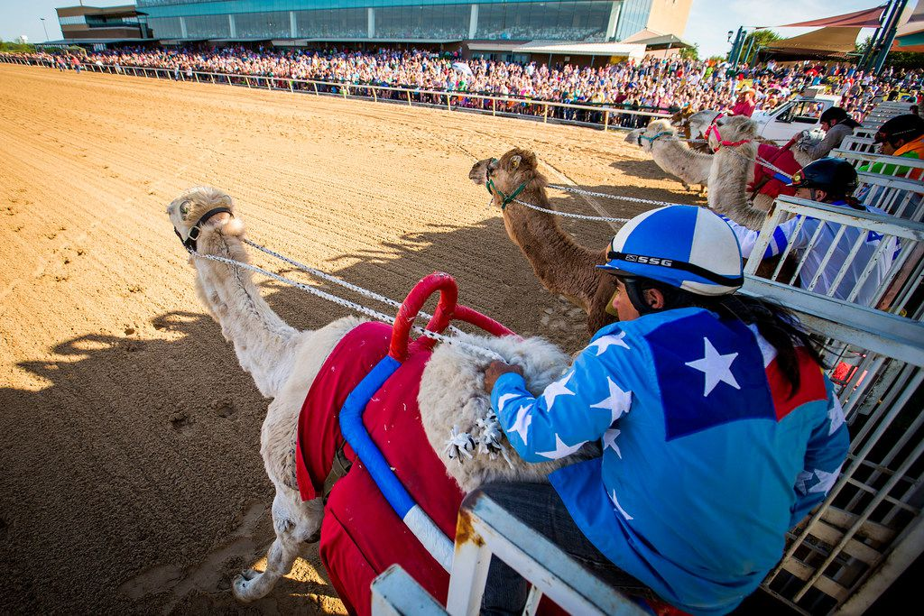 """Jockey Alex Alvarado rides a camel from the starting gates during """"Extreme Racing"""" at Lone Star Park on Saturday, April 28, 2018, in Grand Prairie, Texas. Ridden by Lone Star Park jockeys, camels, ostriches and zebras took to the track between horse races, with each animal paired with a local non-profit charity. (Smiley N. Pool/The Dallas Morning News)"""
