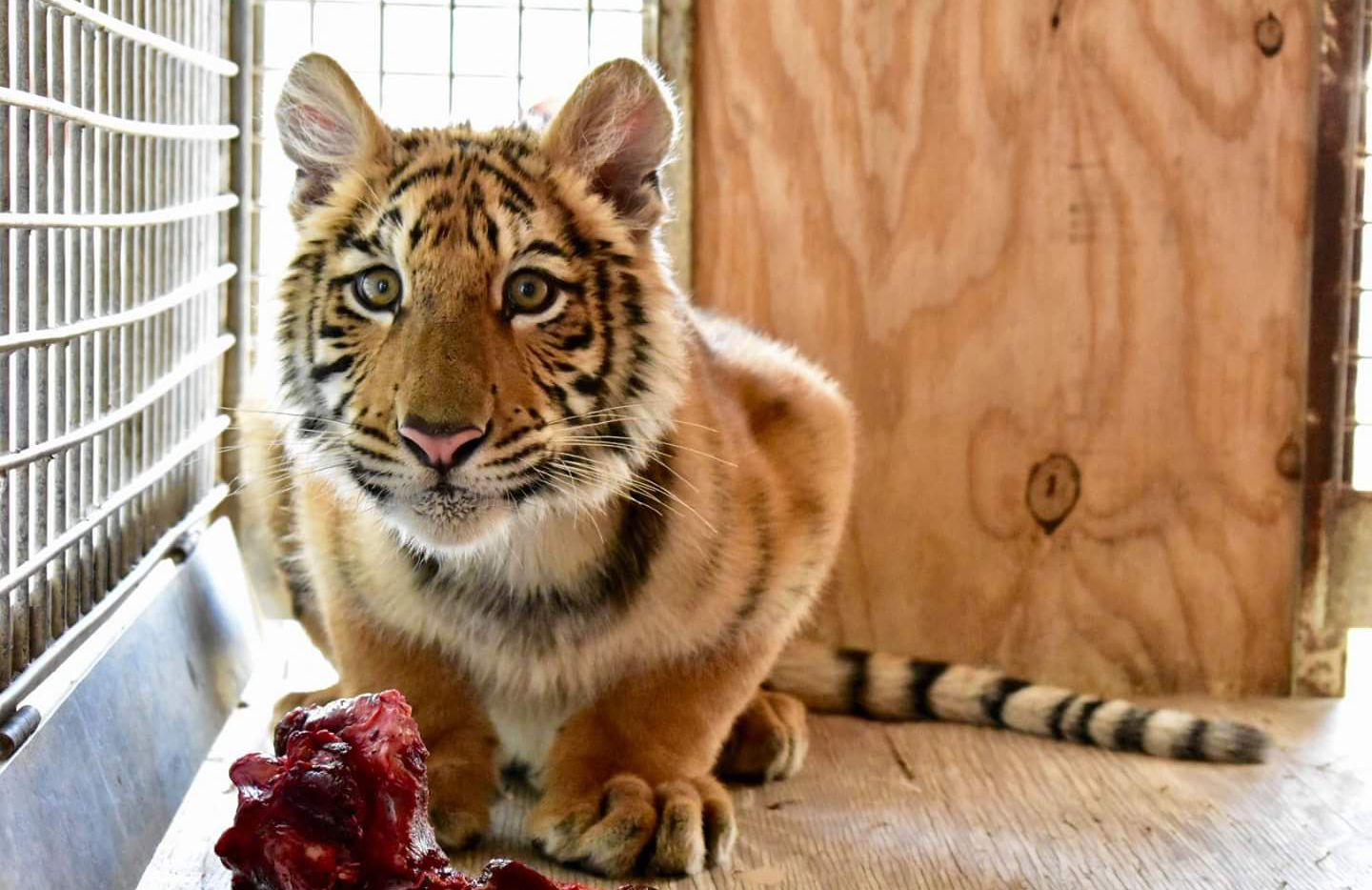 A Wylie animal sanctuary took in a tiger cub this week that had been found in a duffel bag on the U.S.-Mexico border.