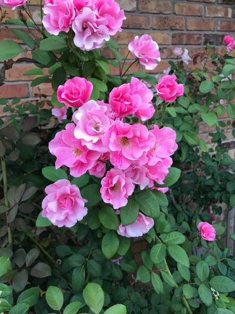 Roses recovering from rose rosette disease.