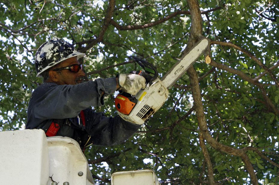City of Dallas forestry worker Guadalupe Reyes uses a chainsaw to trim branches from a Cedar Elm tree at Tenison Park Golf Course in Dallas.