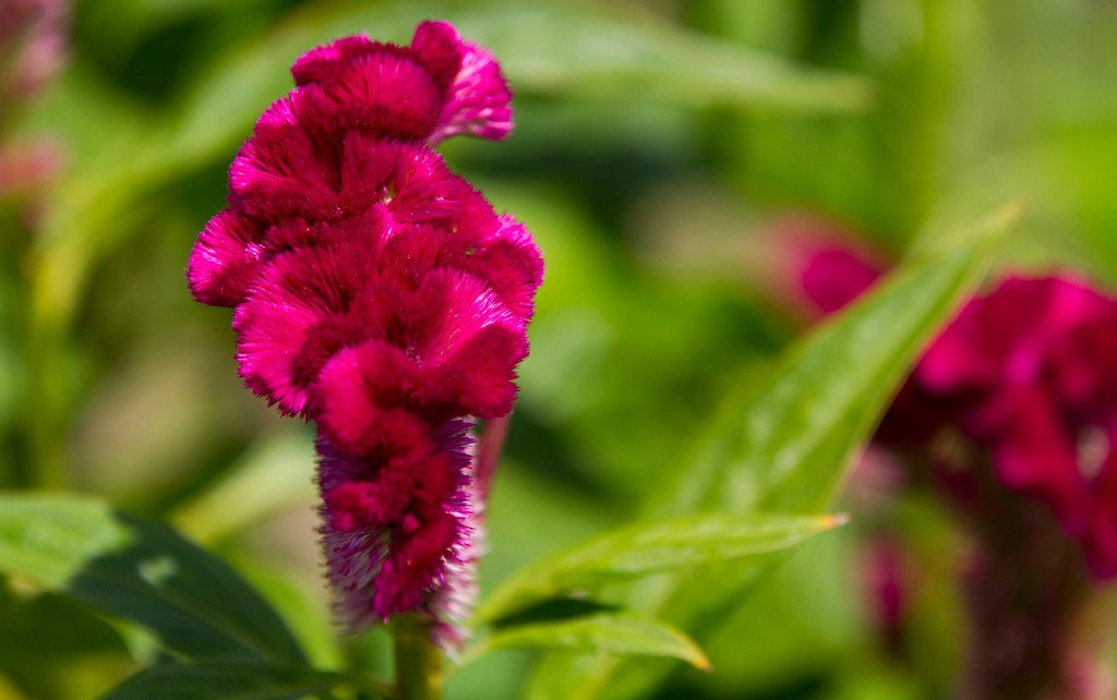 'Cramer's Rose' celosia at Tin Cup Farm in Buffalo