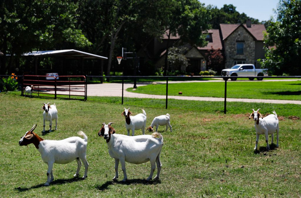 Goats graze along Hickory Hill Road in the Argyle community. A big political feud erupted this year in the small town over whether proposed land use changes would kill off residents' agriculture exemptions.