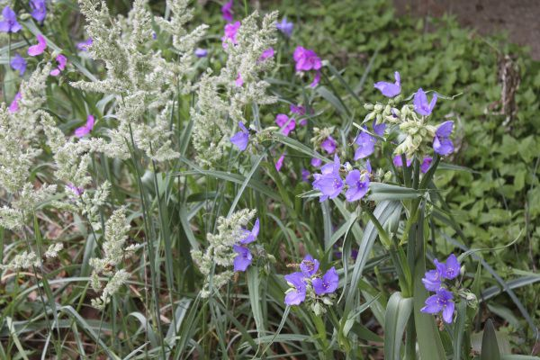 Flowers of western spiderwort mix with Texas bluegrass.