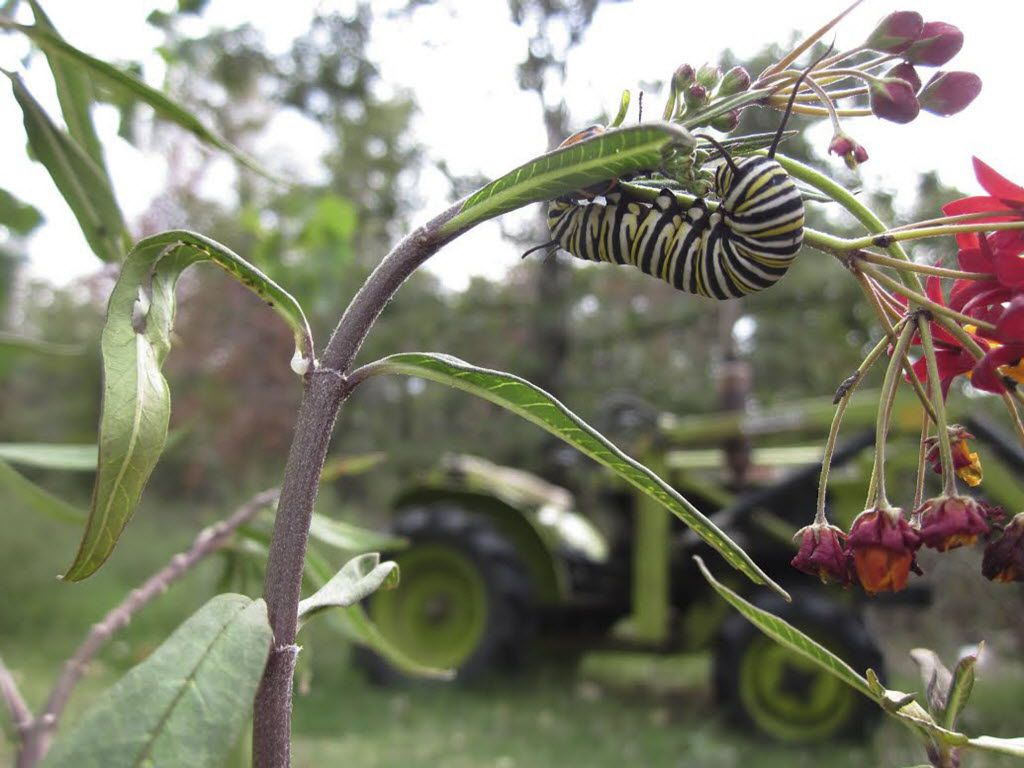 Monarch butterfly caterpillar feeding on Mexican milkweed.