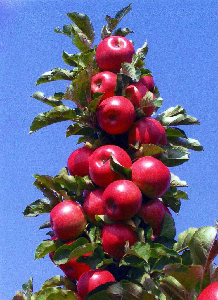 Malus Tasty Red apple from Greenleaf Nursery and Garden Debut