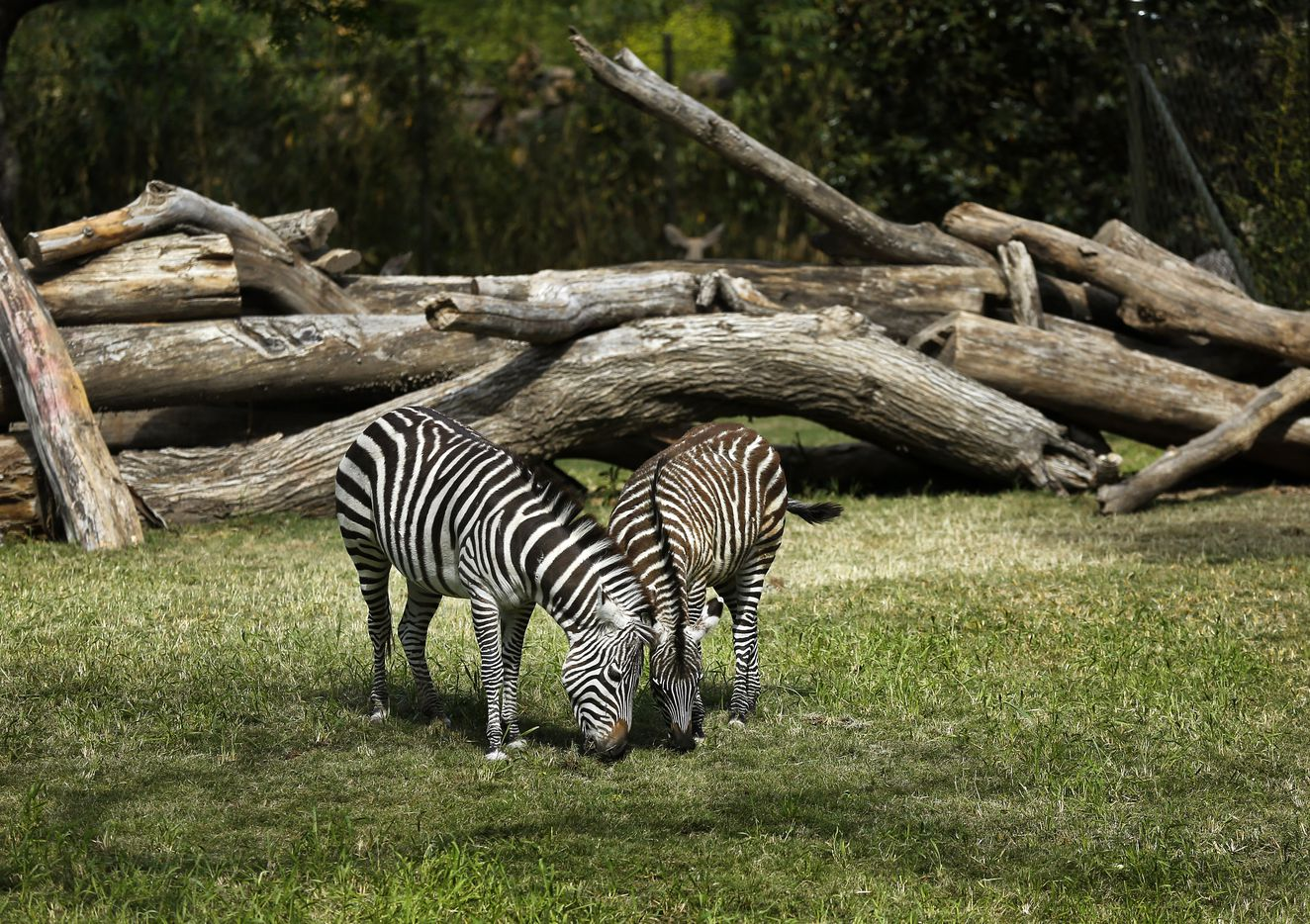 Nine-month old Grant's zebra colt Jack (right) and his mother Roxie graze in the new 10-acre African Savanna exhibit at the Fort Worth Zoo.