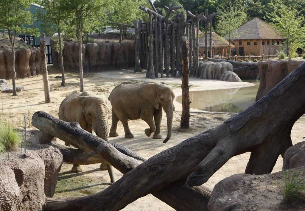 Four female elephants live in the Dallas Zoo's Giants of the Savanna habitat, the eventual home for five elephants imported from Swaziland. (File Photo/Staff)