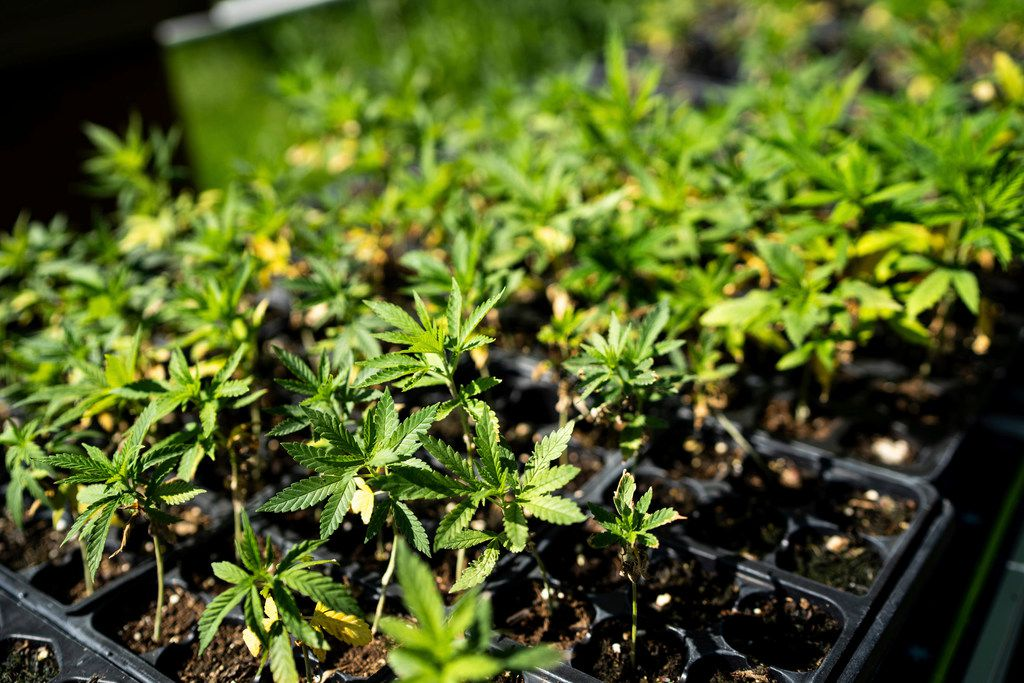 In this Thursday, June 6, 2019 photo, small hemp plants recently brought outside from a grow room wait to be planted in the field at 5th Sun Gardens, a hemp farm in Lanesboro, Minn. (Evan Frost/Minnesota Public Radio via AP)
