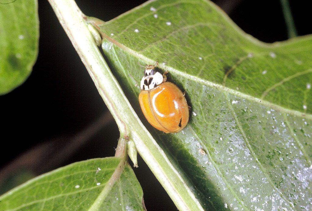 The beneficial Asian ladybug comes in a wide variety of colors and patterns. Notice the white splotches behind the head.