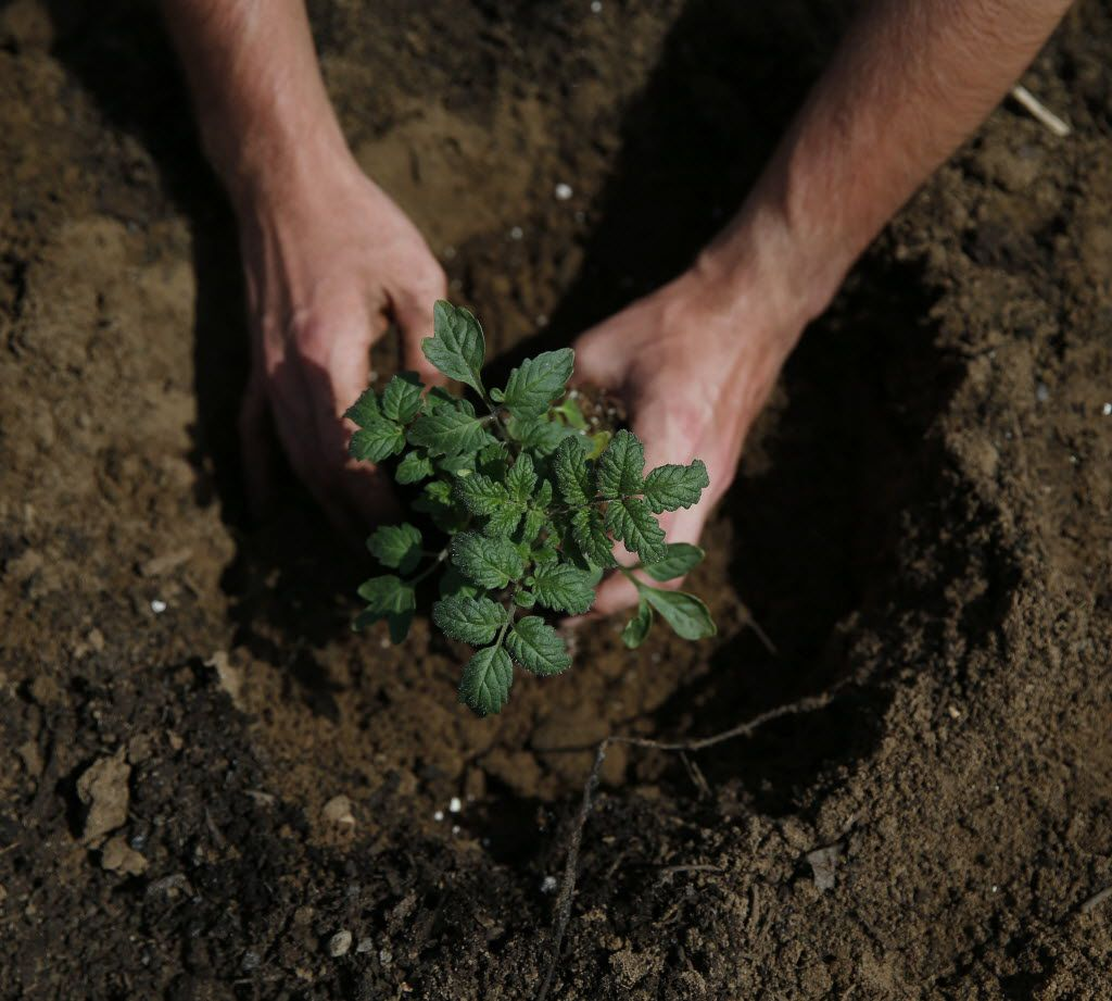 Tomato seedlings can also be used to test for herbicide contamination.