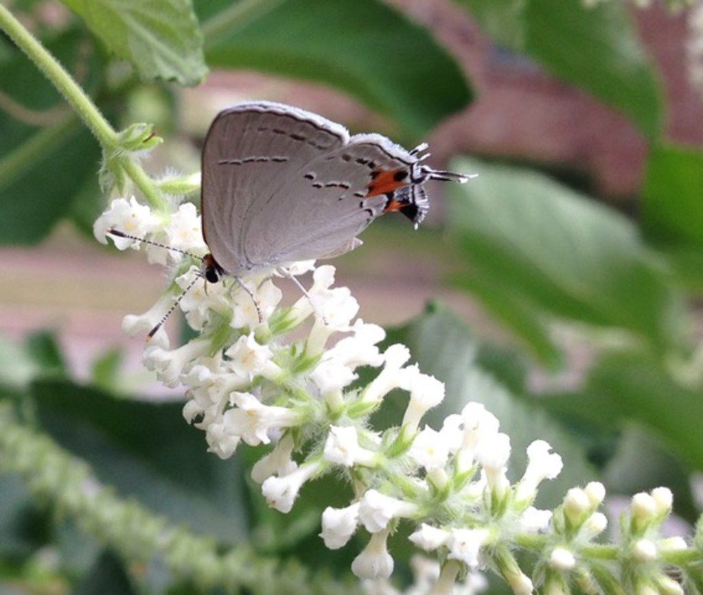 Almond verbena attracts a hairstreak butterfly.