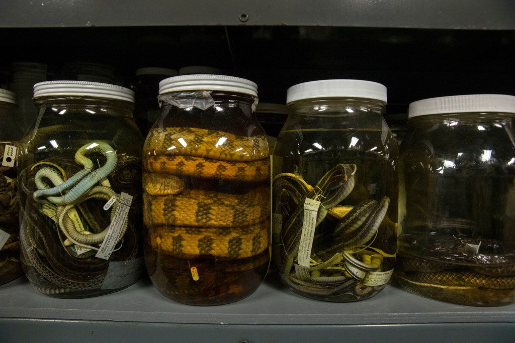 Reptiles preserved in jars with ethanol at the University of Texas at Arlington's Amphibian and Reptile Diversity Research Center in Arlington on Wednesday, January 30, 2019. The center has a selection of about 225,000 cataloged reptiles and amphibians, making it the largest collection in Texas, biology professor Jonathan Campbell said.