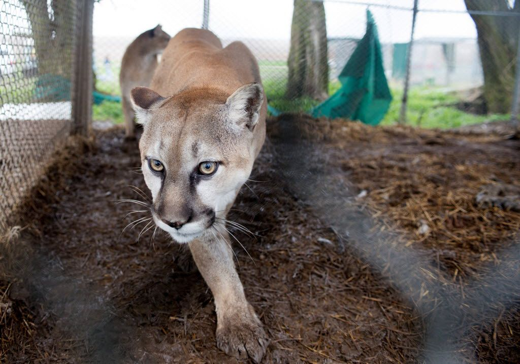 In this May 5, 2013, photo provided by the Humane Society of the United States a mountain lion is seen in it chain-link enclosure before being seized from a menagerie of wild cats in Atchison, Kan. . (AP Photo/HSUS, Kathy Milani) 05072013xNEWS