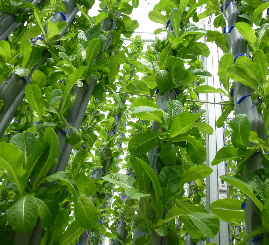 How does your romaine grow? At Eden Green, the new vertical farm in Cleburne, it's green to the core and flowers out rather than growing in a tight head.