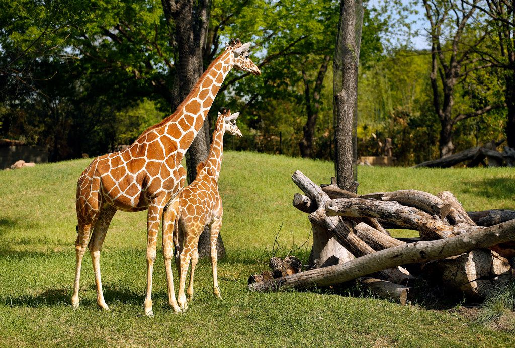 Baby giraffe Beltre (named after Texas Rangers baseball player Adrian Beltre) hangs close to his mother, Kala, in the new 10-acre African Savanna exhibit at the Fort Worth Zoo, Thursday, April 19, 2018.