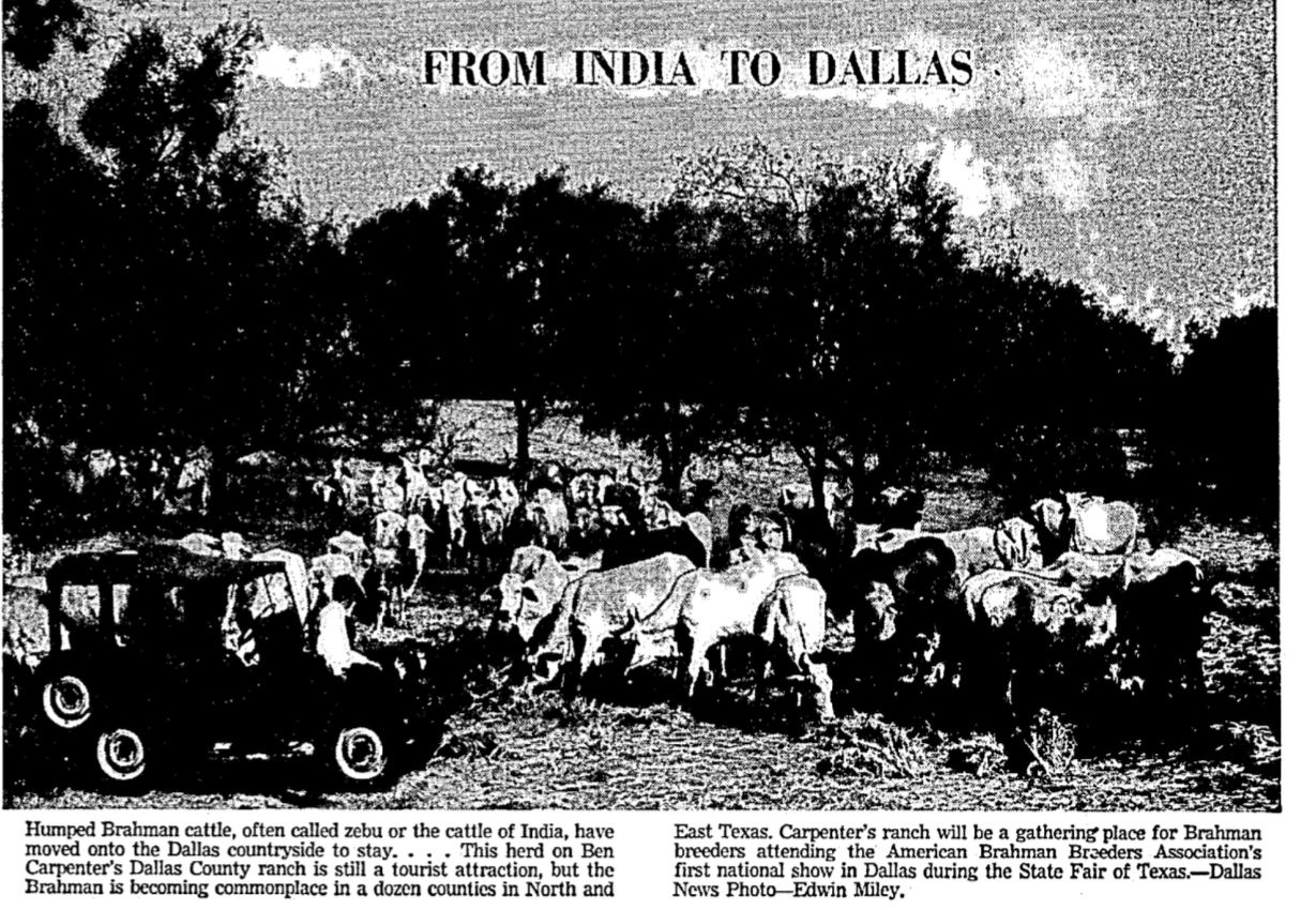 A 1948 article in The Dallas Morning News show imported cattle on the ranch land where Pioneer Natural Resources is building its new head office.