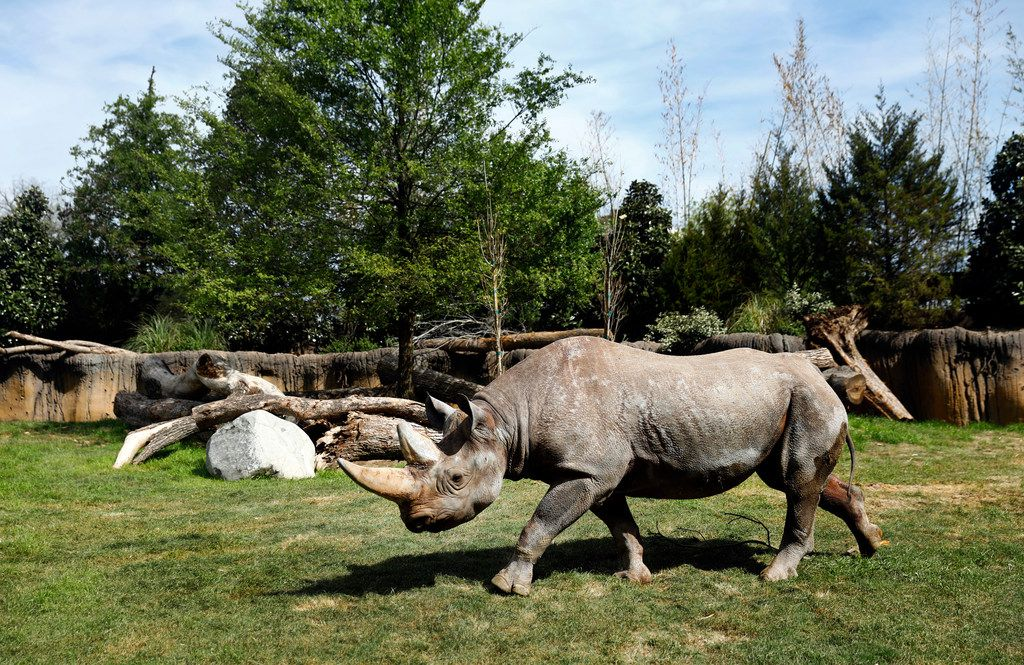 A black rhino trots around in the new 10-acre African Savanna exhibit.