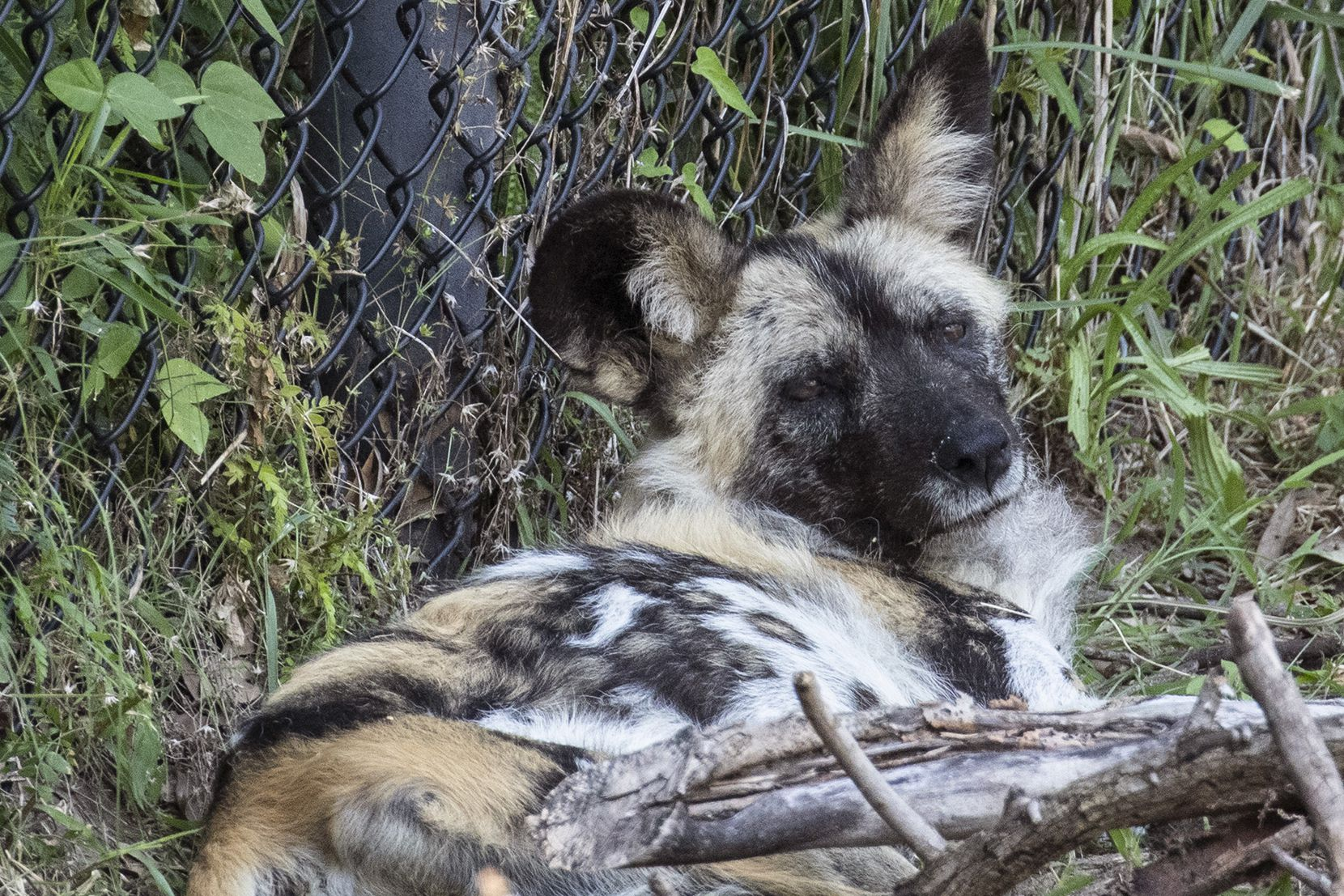 Ola, an 8-year-old female African painted dog, lies down in her habitat in the Dallas Zoo.
