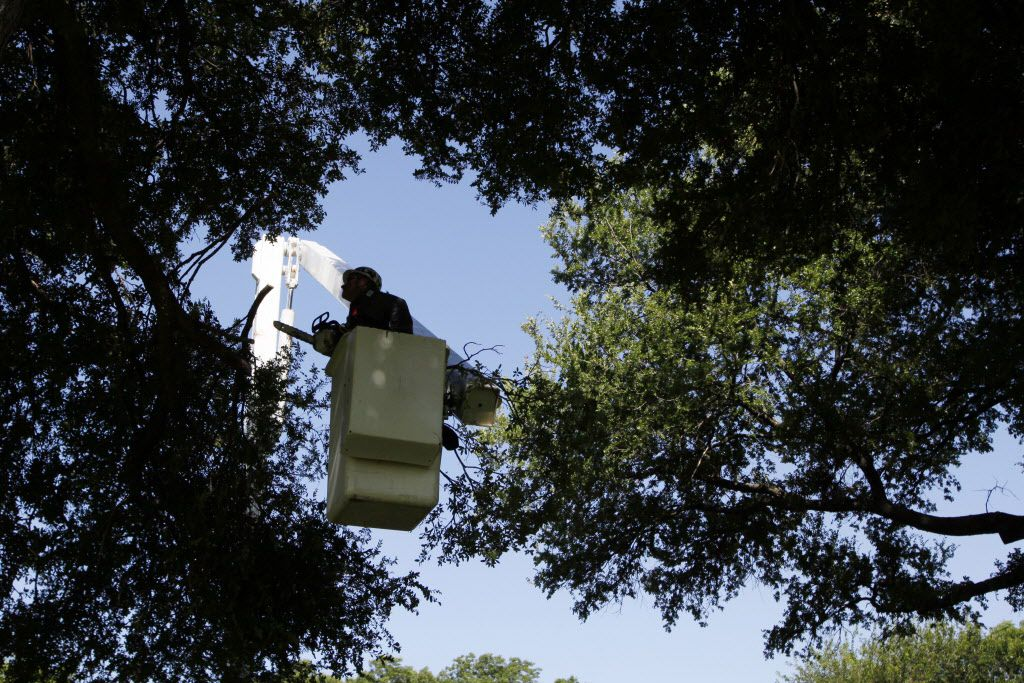 City of Dallas forestry worker Guadalupe Reyes uses a lift to find branches to trim from a Cedar Elm tree, on Wednesday, June 22, 2016 at Tenison Park Golf Course in Dallas.