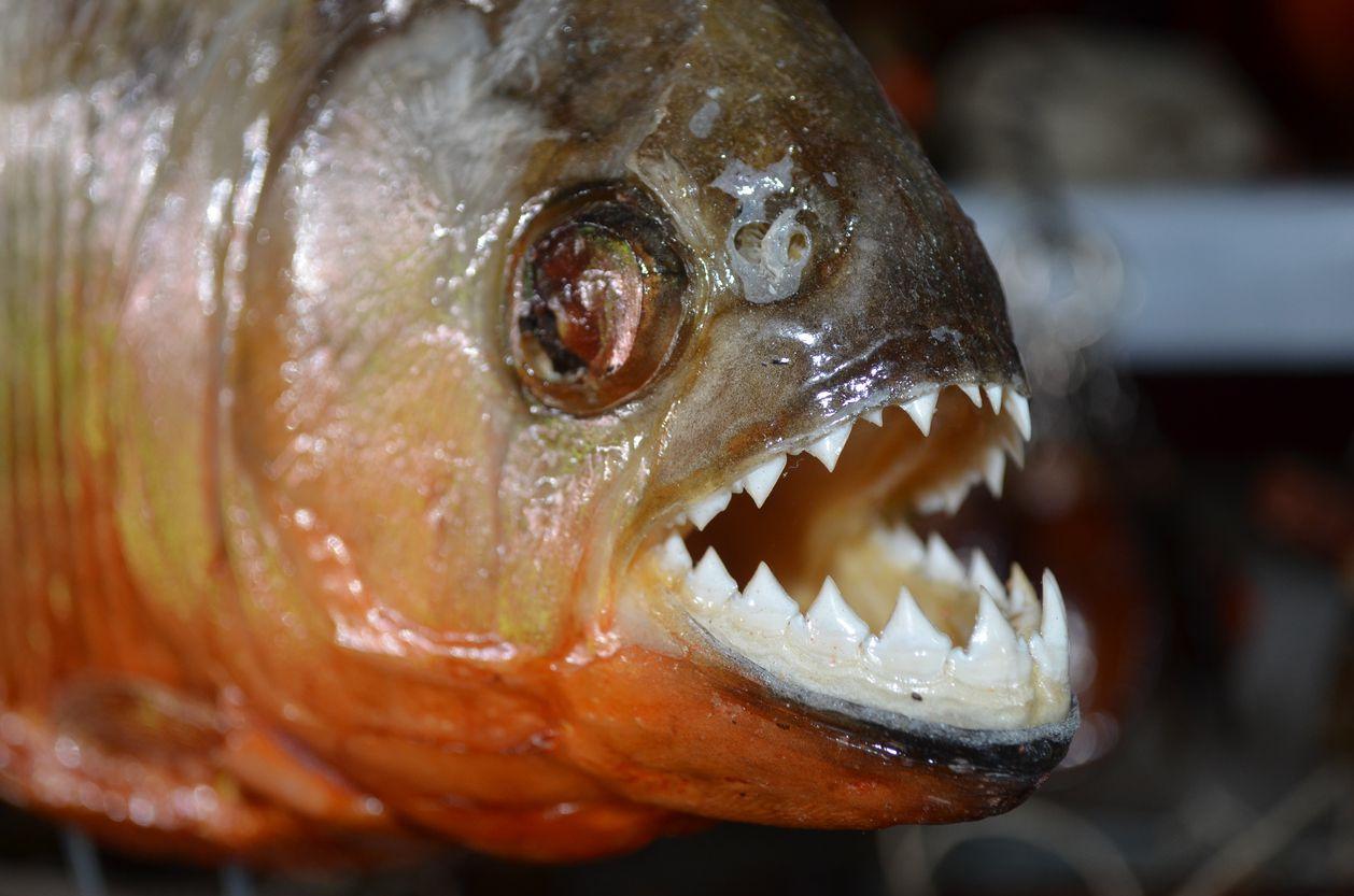 Virgilio Martínez quería servir el pez carnívoro y de afilados dientes durante un festival gastronómico en Los Ángeles. iSTOCK