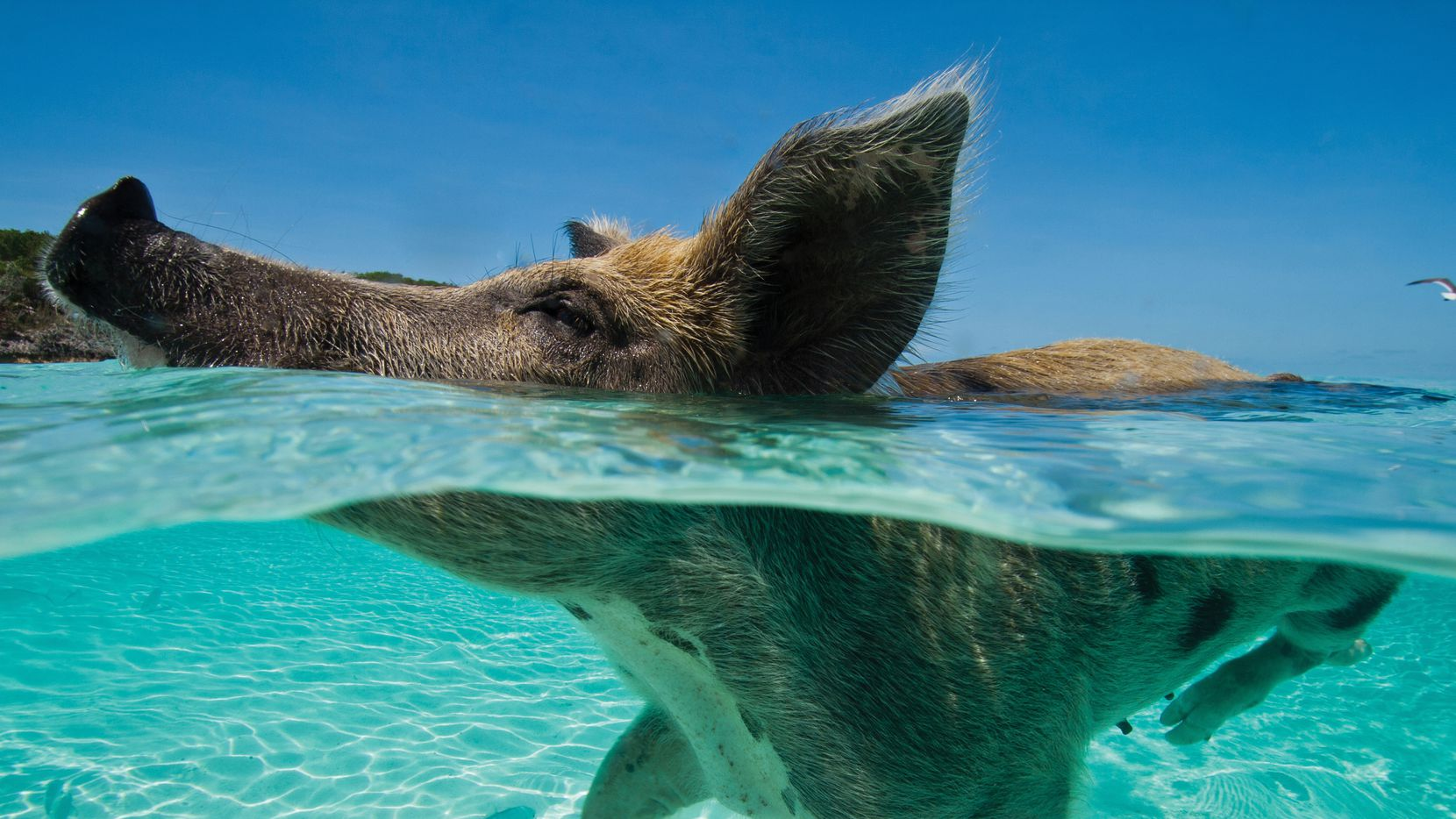 Swimming pigs in Bahamas attract a global fan base