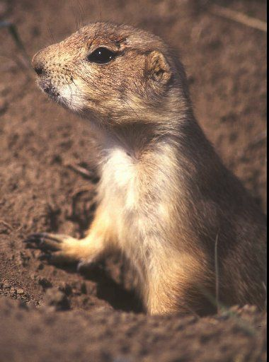A prairie dog peers out of a hole near Big Timber, Mont., in this May 1994 photo. At least 13 people in Wisconsin and Illinois were sickened in 2003 after being exposed to prairie dogs that may have been infected with a virus.