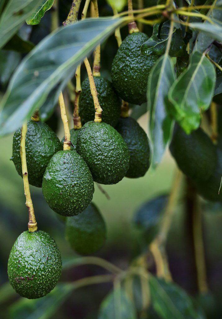 An avocado orchard in Michoacan state, Mexico, on October 18. (AFP/Ronaldo Schemidt/Getty Images)