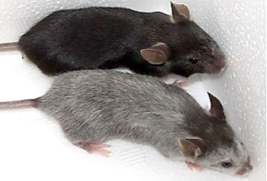 The black mouse (top) is the control mouse, and the gray-haired mouse resulted from having SCF deleted in the KROX20 cells.