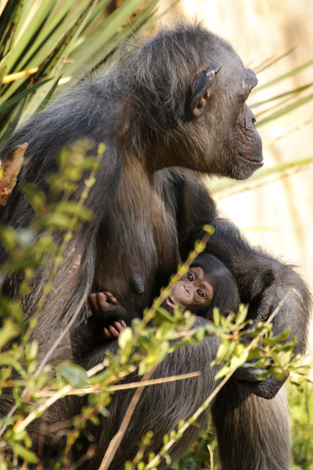 Ramona and Mshindi at the Dallas Zoo in March 2014, a couple of months after the young chimp was born.