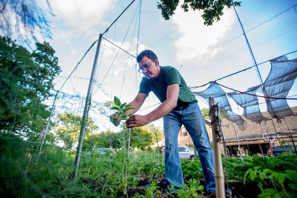 Jefferson Braga ties up a young tomato plant on his property in Irving.
