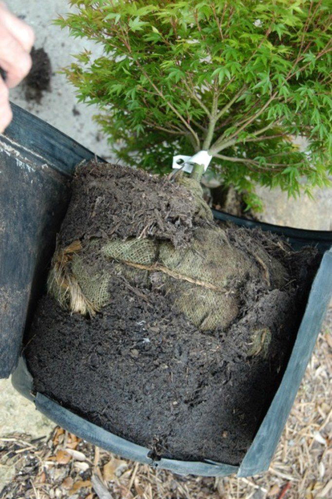 A 7-gallon dwarf Japanese maple tree had been balled and burlapped first, then jammed in a container.