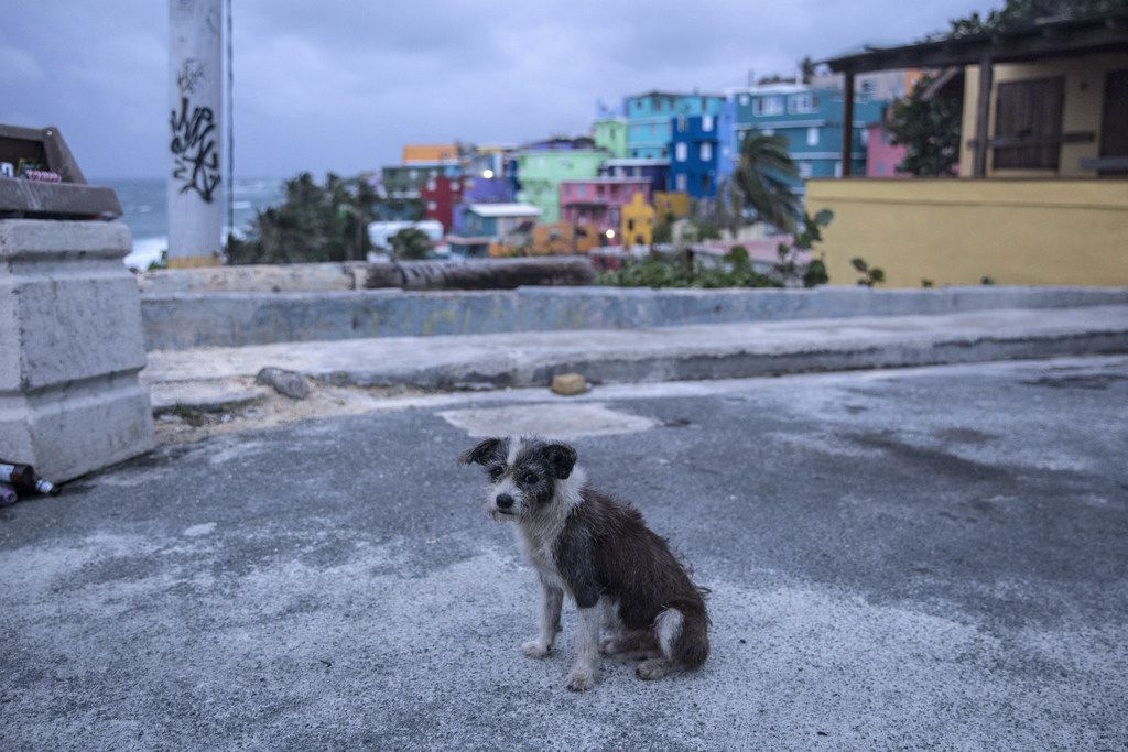 """SAN JUAN, PUERTO RICO - SEPTEMBER 19:  A dog roams the streets of the La Perla neighborhood in Old San Juan as residents prepare for a direct hit from Hurricane Maria on September 19, 2017 in San Juan, Puerto Rico. Puerto Rico Gov. Ricardo Rossello is saying Maria could be the """"most catastrophic hurricane to hit"""" the U.S. territory in a century. (Photo by Alex Wroblewski/Getty Images)"""