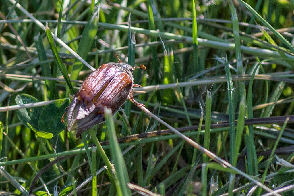 A june bug